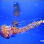 新江ノ島水族館のクラゲファンタジーホールがリニューアル