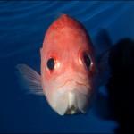 目と目で通じあう? 魚とは思えない目ヂカラを持つエビスダイ