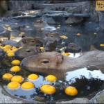 伊豆シャボテン公園の「カピバラの露天風呂」がリニューアル