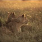 『世界ネコ歩き』でおなじみ岩合光昭氏の写真展「どうぶつ家族」が開催中