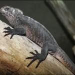 日本初! iZooがウミイグアナの飼育展示を開始